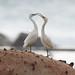 白色型岩鷺 by mymediaeric