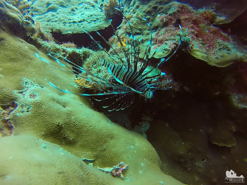 Regal lionfish