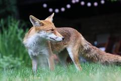 Garden-Fox