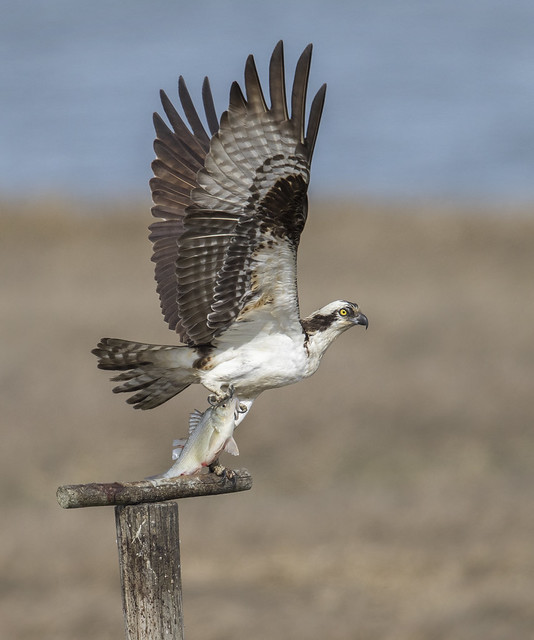 Osprey taking off from a perch with a white perch {Explored!  Thank you very much!!}