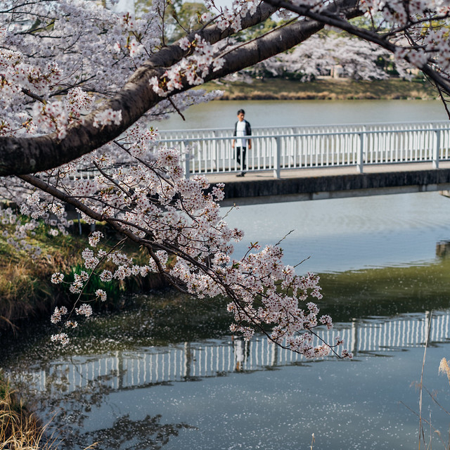 CherryBlossoms_212