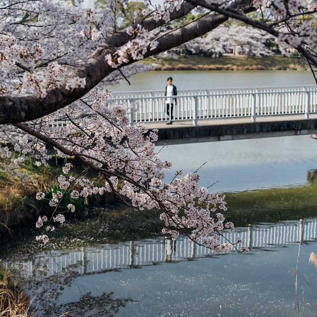 CherryBlossoms_212