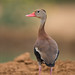 black-bellied whistling duck by annmpachecophotography.com