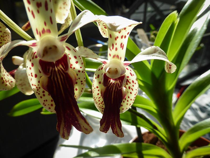 Orchideen-Neuzugang 2 - Seite 3 27476538027_4eb158bd3d_b