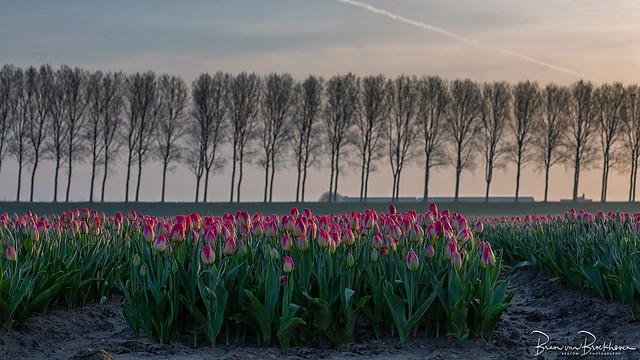 Late start of the tulip season