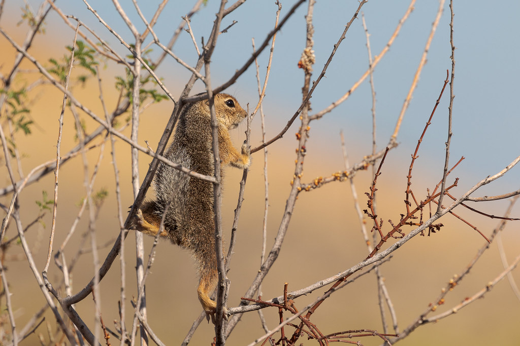 A Harris's antelope squirrel in a bush looks out over the Sonoran Desert along the Vaquero Trail in the Brown's Ranch section of McDowell Sonoran Preserve in Scottsdale, Arizona