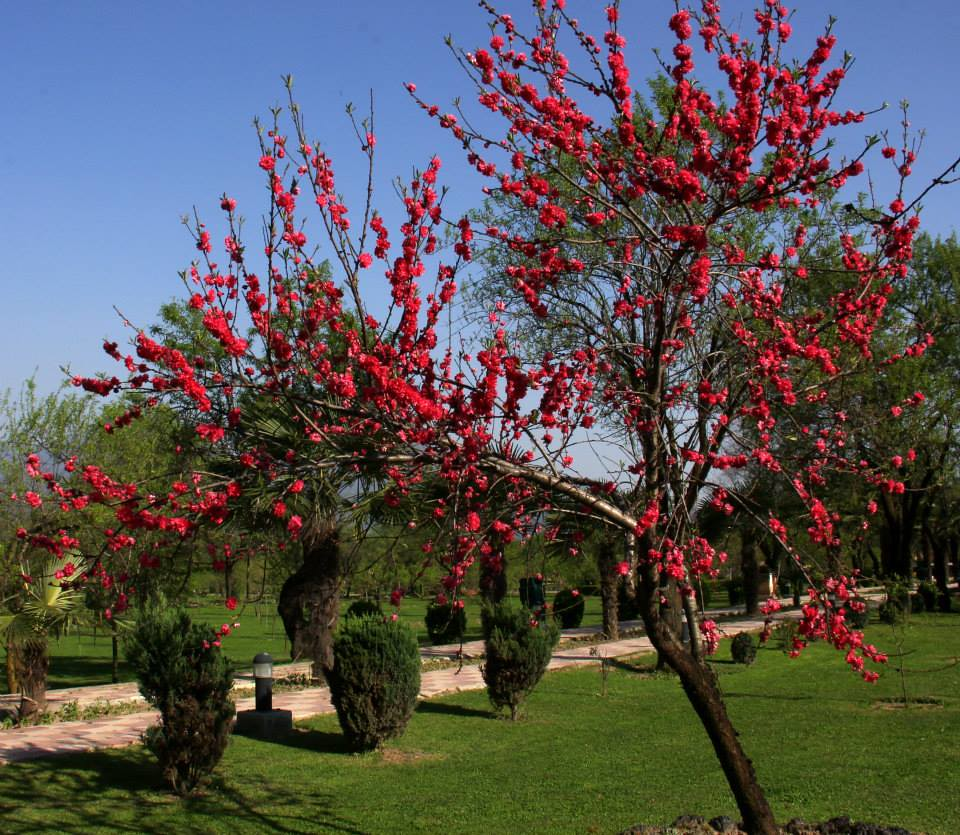 Flowers bloom in Badamwari in spring