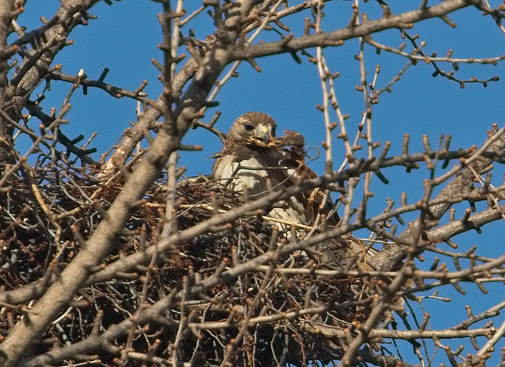 Christo with a mouthful of bark in the nest