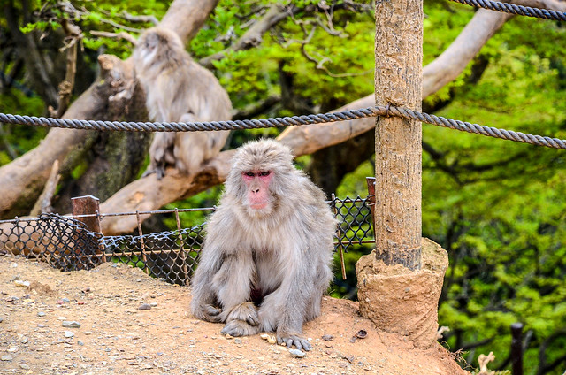Monkey staring in background