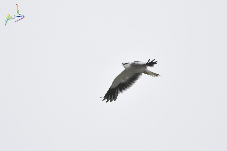 Black-winged_Kite_2491