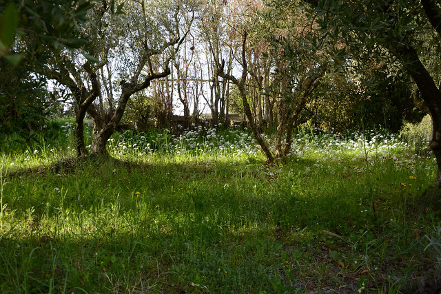 allium neapolitanum - Allium neapolitanum - ail de Naples 40783817064_b684267436_z