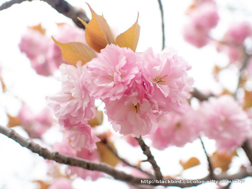 Cherry blossoms 20180414 #02