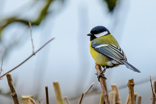 Parus major | by Udo St.