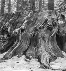 Sequoia Faces-00964