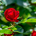 Red Rose by tkclip47