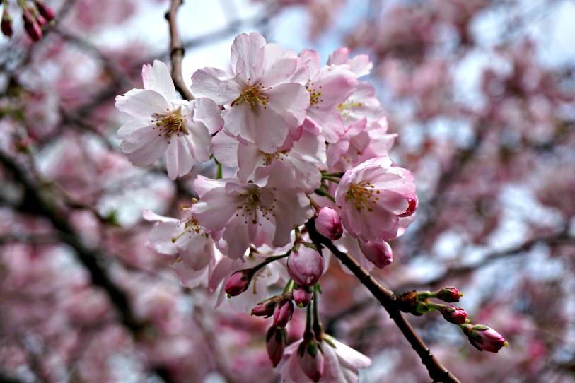 Kirsikankukkia Roomassa