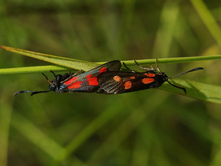 Zygaena viciae (in copula) - New Forest burnet (mating) - Пестрянка горошковая (спаривание)