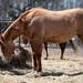 Brood Stallion by Anne Worner
