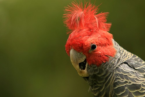 A Gang-gang cockatoo - at Parrots in Paradise Explore # 70