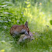 Renards (Vulpes vulpes) Red Fox (Explorer 2018-05-25) by Denis.R