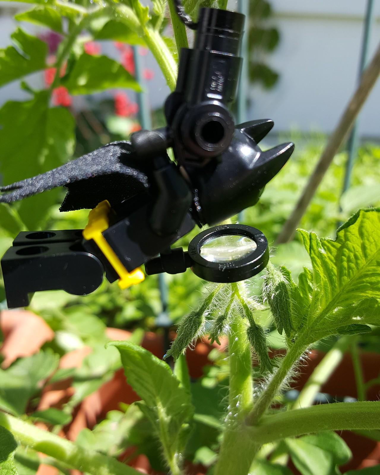 Batman checks the tomato flowers