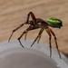 Common Cucumber Spider - Araniella cucurbitina (male)