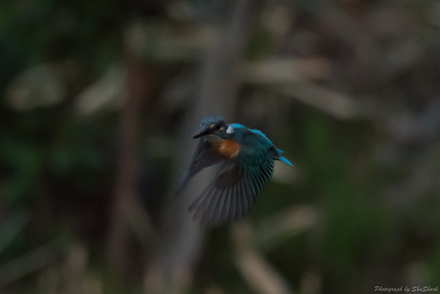 20180330-kingfisher-DSC_0594