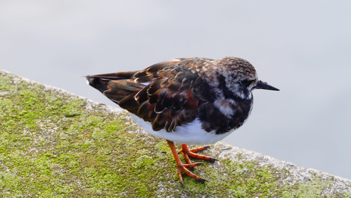 Turnstone, Newlyn harbour