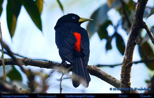 scarletrumpedcacique scarletrumpedcaciqueinmindo scarletrumpedcaciqueinecuador cacique caciquelomiescarlata cacicusuropygialis cacicus icteridae ecuadorcaciques southamericancaciques ecuadorbirds southamericanbirds neotropicalbirds mindobirds aves pichinchaprovince mindo ecuador photobypeterwendelken peterwendelken specanimal coth5