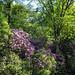 Rododendron in het Kasteelpark Opitter