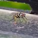 Anthomyiid Fly - Anthomyia pluvialis