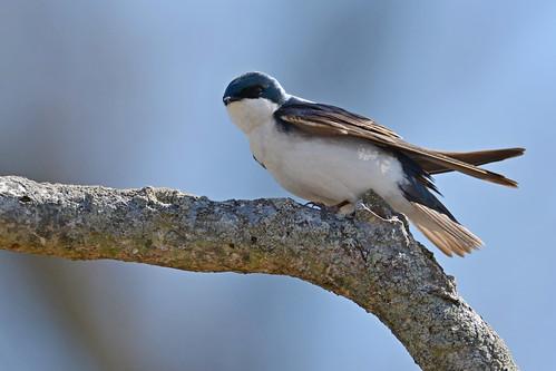 brilliant birds nikon nikond7100 tamronsp150600mmf563divc jdawildlife johnny portrait closeup eyecontact swallows swallowtree treeswallow