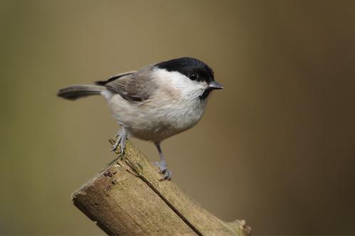 northamptonshire wild wildlife nature bird woodland marshtit poecilepalustris barnwellcountrypark