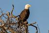 Bald Eagle (Haliaeetus leucocephalus) by Brown Acres Mark