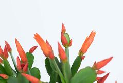 Growing Easter cactus