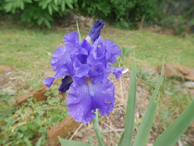 Iris 'Blue Suede Shoes' - Schreiner 1996 40477984060_28dd807e2c_z
