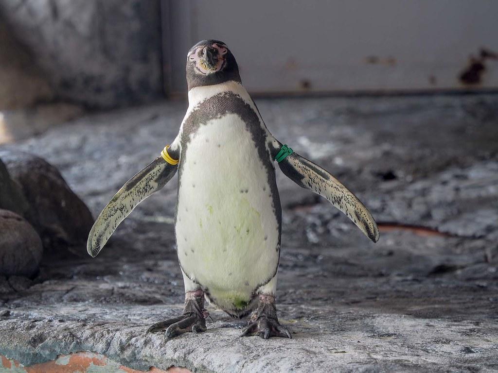 フンボルトペンギン/420mm相当