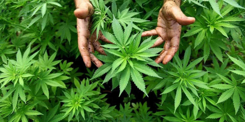 Le cannabis est-il toxique ?