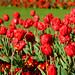 6. Campo de flores rojas del parque St. Stephen Green, uno de los sitios más bonitos que ver en Dublín