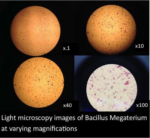 bacillus light mirco
