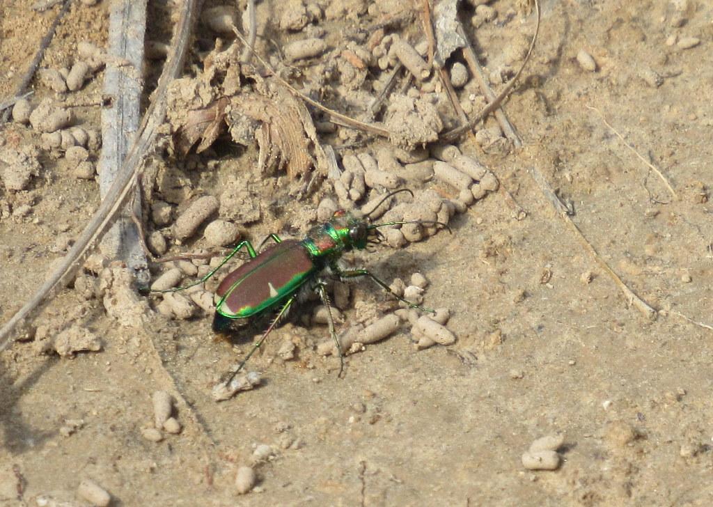 Splendid Tiger Beetle