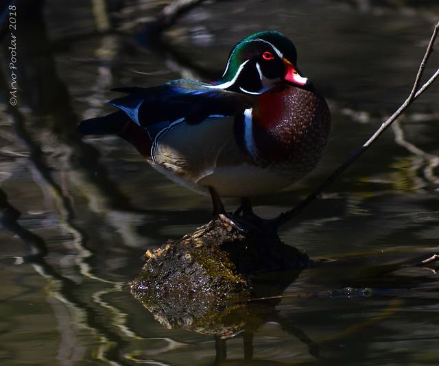 Toronto's High Park Wood Ducks