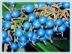 Edible blue berries of Alpinia caerulea 'Atherton Ginger' (Red Back Australian Ginger, Blue Ginger, Native Ginger) March 27 2018