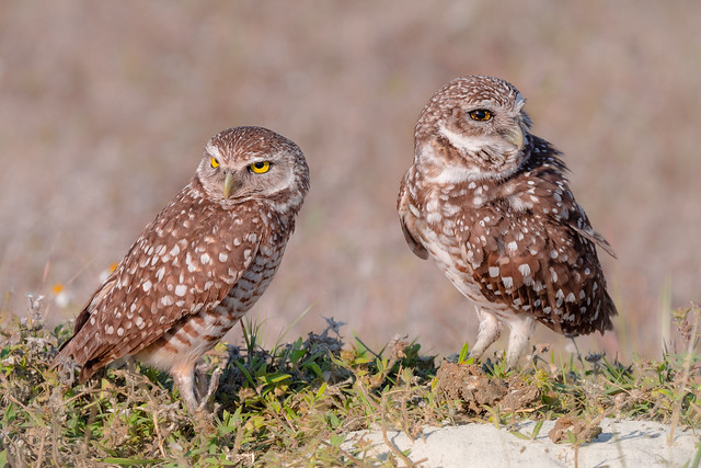 Burrowing owls, Panasonic DMC-GX8, LEICA DG 100-400/F4.0-6.3