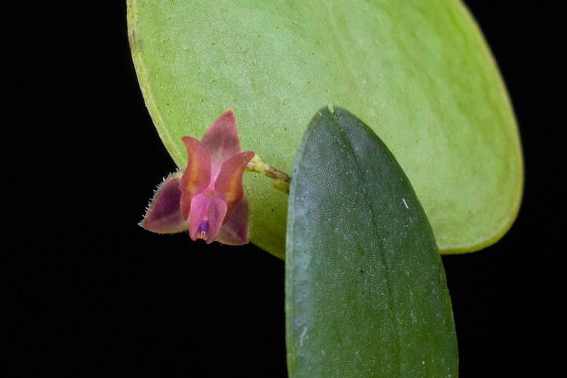 Miniatur-Orchideen Teil 4 - Seite 5 41138333991_4201332ec1_c