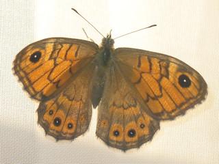 Lasiommata megera - Wall brown - Мегера