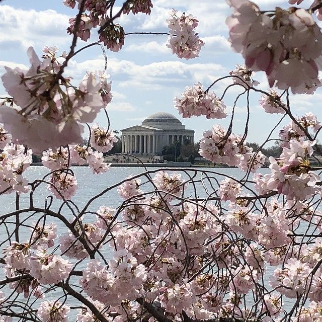 Jefferson Memorial through Cherry Blossoms