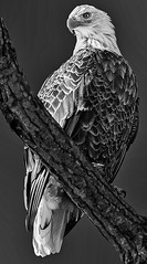 Bald Eagle By Larry Huck Award &  POM Monochrome Prints March 2018
