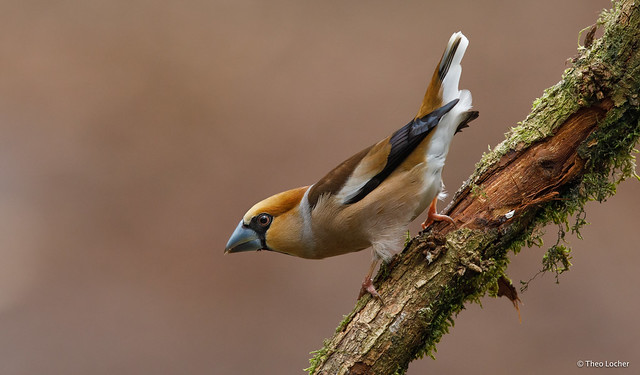 Appelvink - Hawfinch -  Coccothraustes coccothraustes -9287