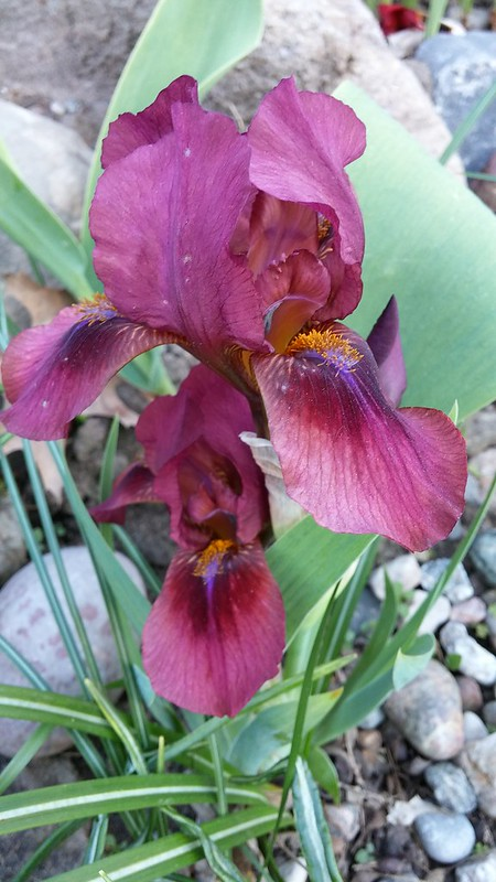 Commande d'iris chez Chapman Iris (2019 --> Page 9) - Page 8 41408458015_d42e3e4650_c
